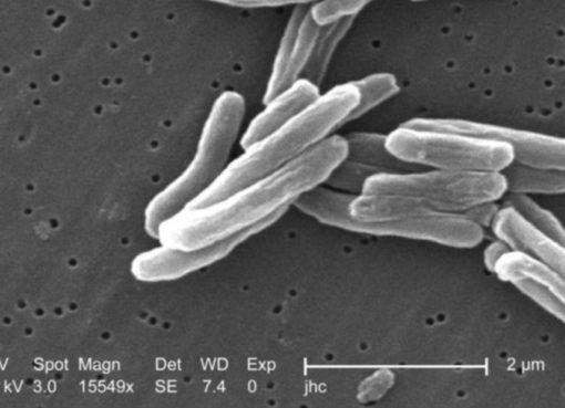Tuberkelbakterien