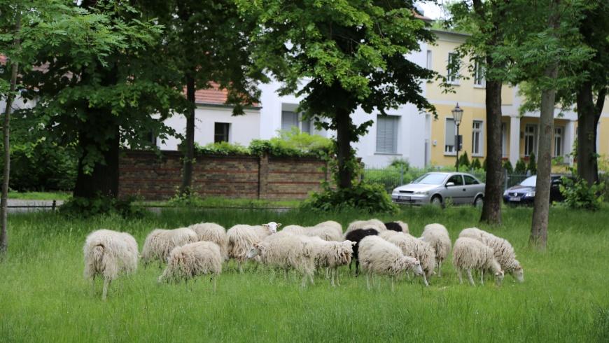 Schafe auf der Dorfaue