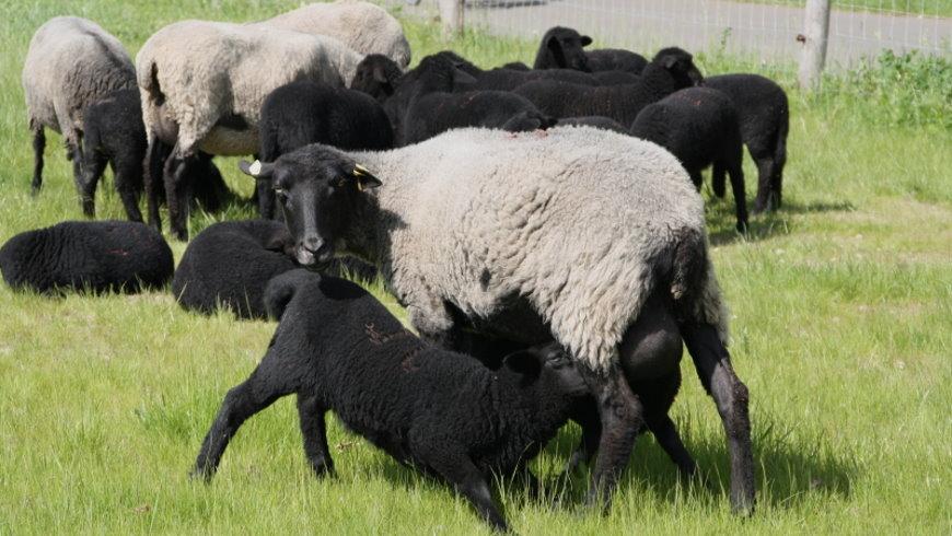 Schafe im Landschaftspark Herzberge